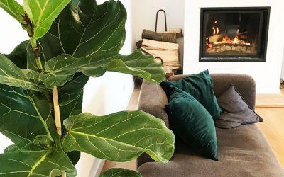 Ficus Lyrata : la plante star d'Instagram et de votre intérieur